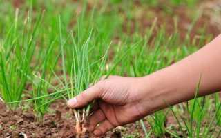 Посадка лука на севок семенами