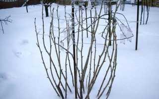 Зачем на зиму связывают ветки смородины и всегда ли стоит это делать