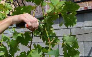 Обрезка винограда летом — когда и как правильно обрезать от ненужных побегов, советы для начинающих