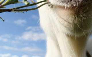 Возможные болезни коз и их лечение