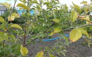 Почему желтеют листья на яблоне, как бороться с пожелтением
