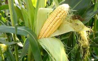 Технология выращивания кукурузы