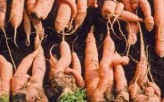 Почему морковь бывает рогатая, мохнатая и корявая?