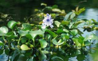Какие растения делают воду в пруду прозрачной