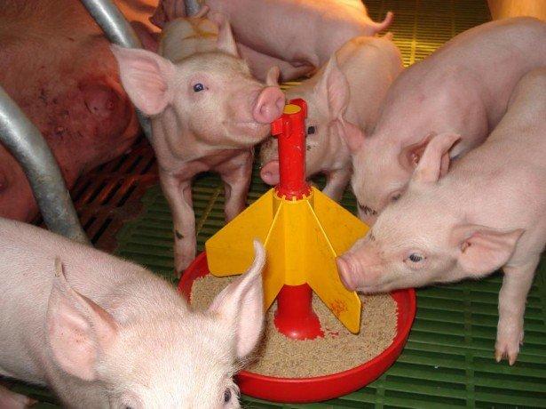 Общая характеристика кормов в свиноводстве