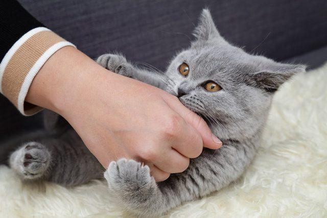 Нельзя приручать котенка играть с руками