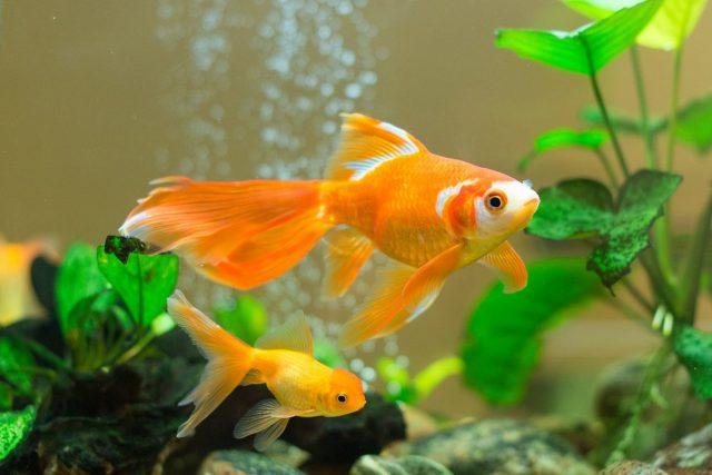 10 пород золотых рыбок для начинающих и опытных аквариумистов