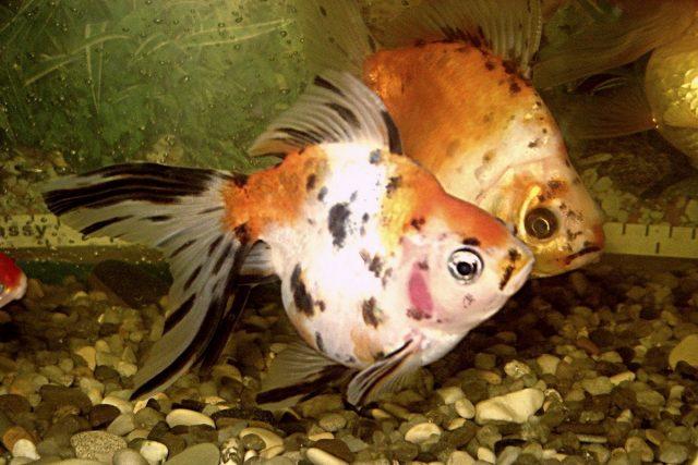 «Риукин» имеет характерный горб, острый нос и ситцевую окраску