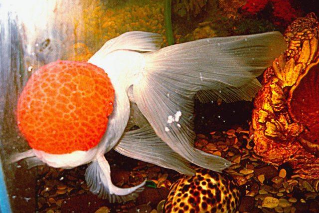 «Красная Шапочка» — самая популярная «Оранда»