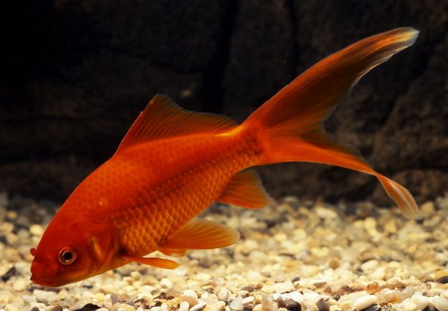 Золотая рыбка «Комета»