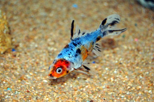 От обыкновенной золотой рыбки и «Кометы», рыбка «Шубункин» главным образом отличается пятнистой многоцветной окраской