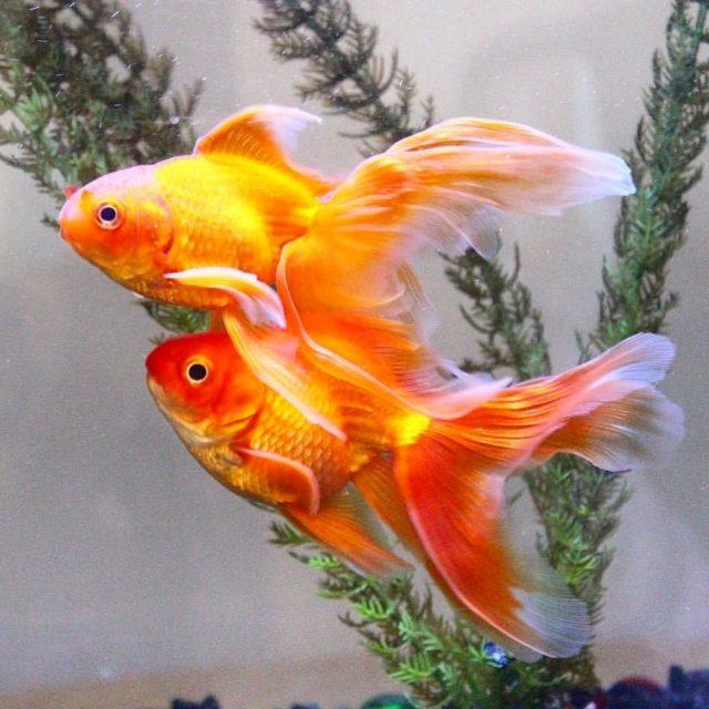 Роскошный хвостовой плавник элегантно тянется за золотой рыбкой «Вуалехвост» подобно шлейфу