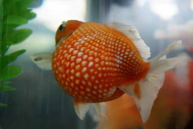 Золотую рыбку «Жемчужинка» очень легко узнать по круглому животу и уникальной чешуе