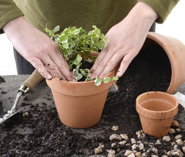 Комнатные растения, которые нуждаются в пересадке, нужно успеть пересадить в самом начале активной вегетации