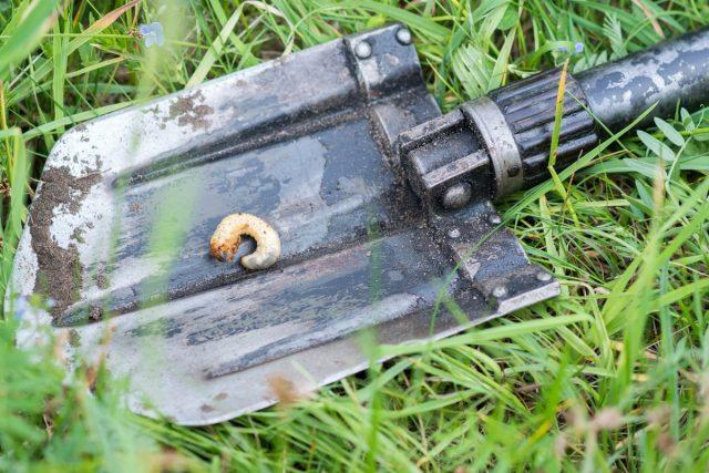Если саженец не растёт и не развивается, причиной могут быть личинки майского жука