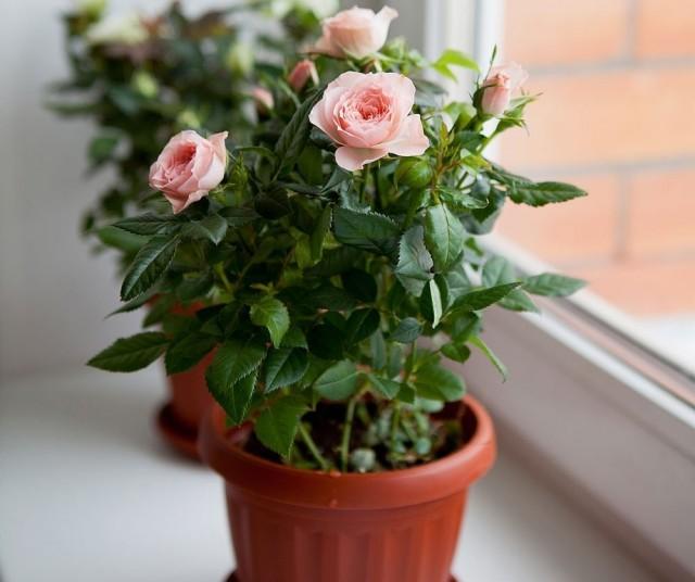 Лучше всего для роз подходят восточные или ориентированные на юго-запад окна