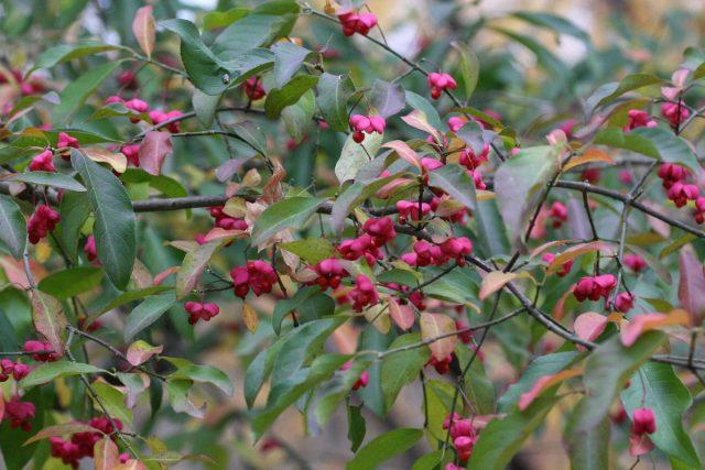 Бересклет (Euonymus)