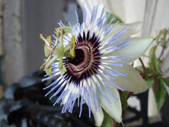 Пассифлора (Passiflora)