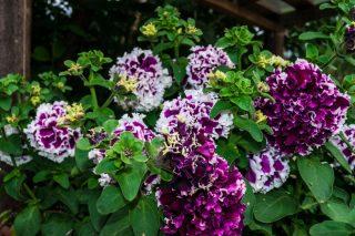 Все современные махровые гибридные петунии, которые можно вырастить из семян, образуют 100% махровые цветки