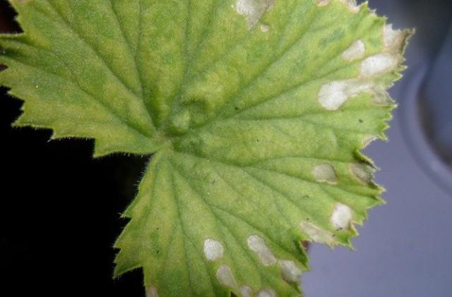 Признаки недостатка магния на листьях пеларгонии