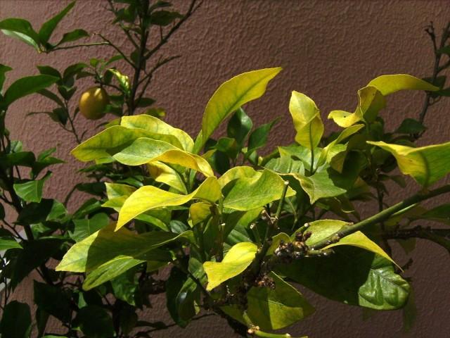 Признаки недостатка железа на комнатном лимоне