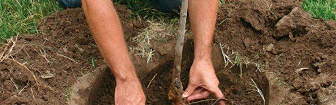 Пересадка сирени весной – оптимальные сроки и правила