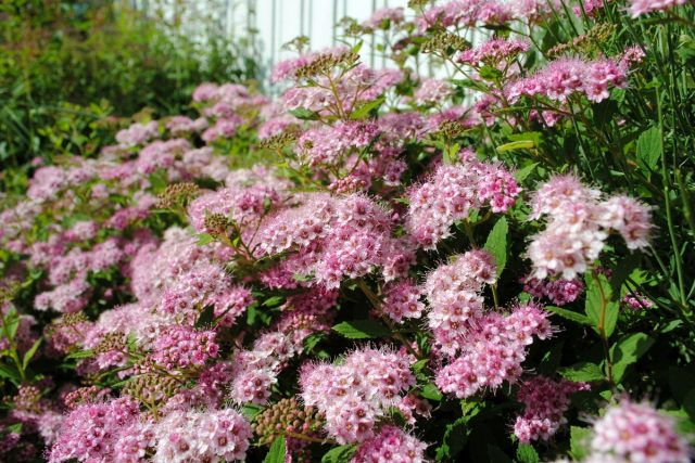 5 красивоцветущих кустарников для северных регионов