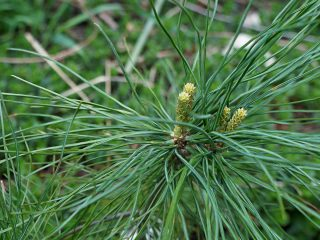 Сосна кедровая корейская, или Корейский кедр (Pinus koraiensis)