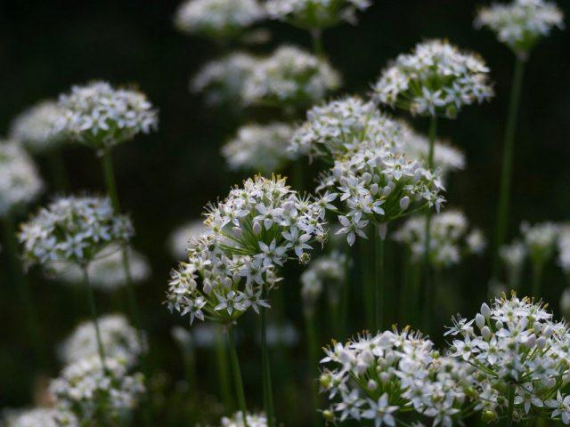 Несмотря на свой статус культуры исключительно «пищевой», лук-порей — один и самых привлекательно цветущих луков