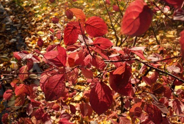 Дерен кроваво-красный (Cornus sanguinea)