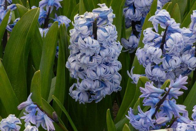 Гиацинт «Генерал колер» (Hyacinthus 'General Kohler')