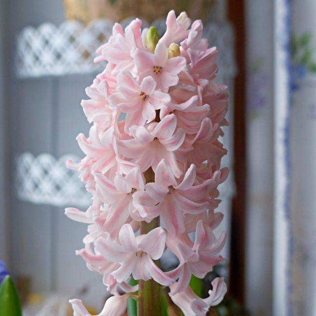 Гиацинт «Бестселлер» (Hyacinthus 'Bestseller')