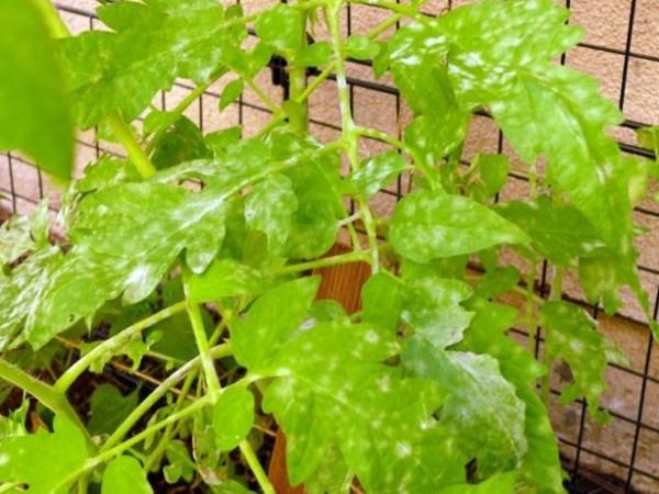 Белые пятна на листьях помидоров