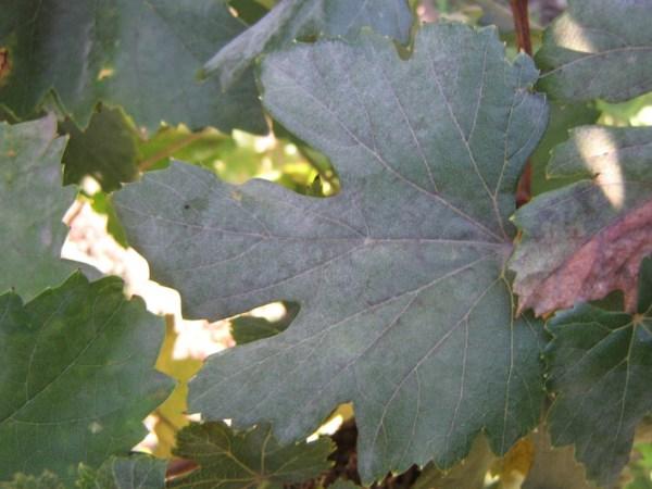 Белый налет на листьх винограда
