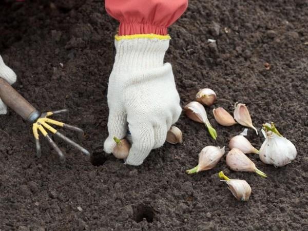 Благоприятные дни для посадки чеснока весной