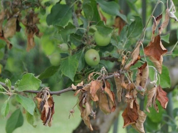 Болезни листьев яблони