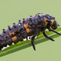 Личинка божьей коровки семиточечной (Coccinella septempunctata)