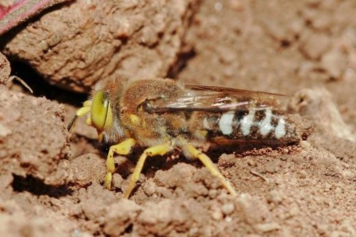 Оса песчанная (Crabronidae)