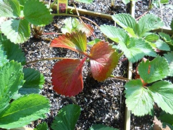 Почему краснеют листья у клубники
