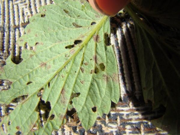 Кто ест листья клубники на грядке