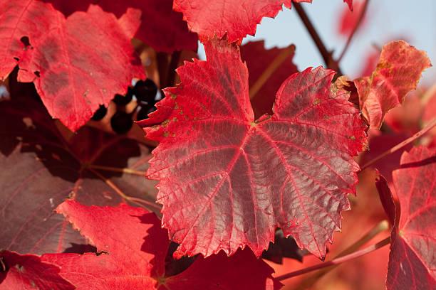 Причины покраснения листвы