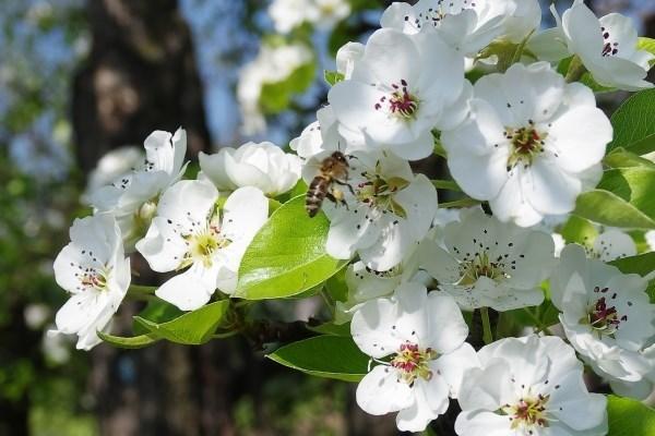 Почему не цветет груша