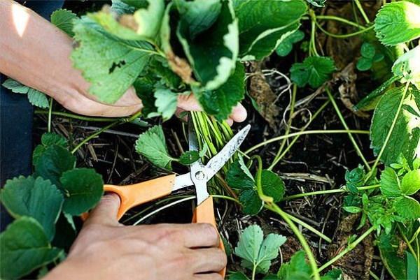 Как обрезать листья клубники