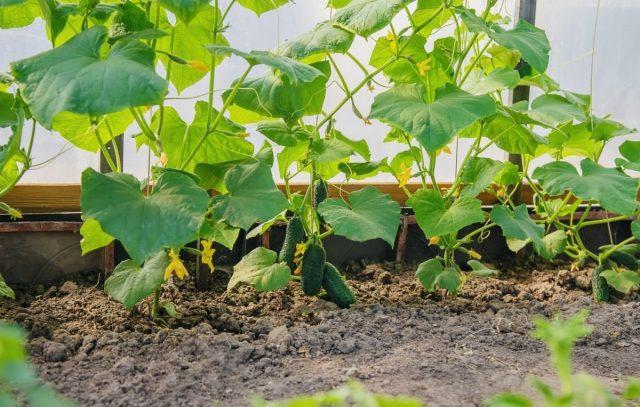 Особенности выращивания огурцов-партенокарпиков