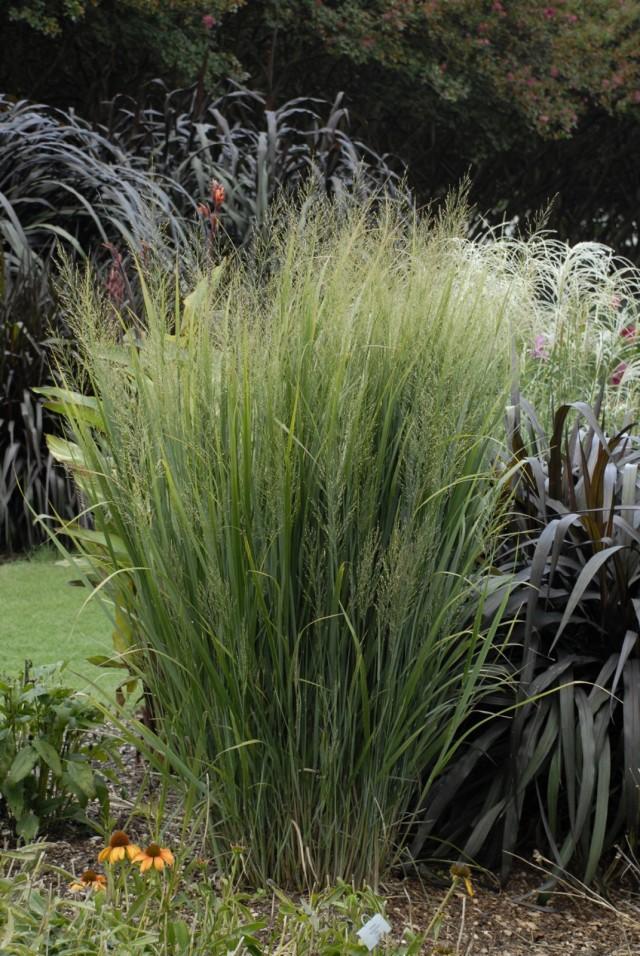 Просо прутьевидное (Panicum virgatum)