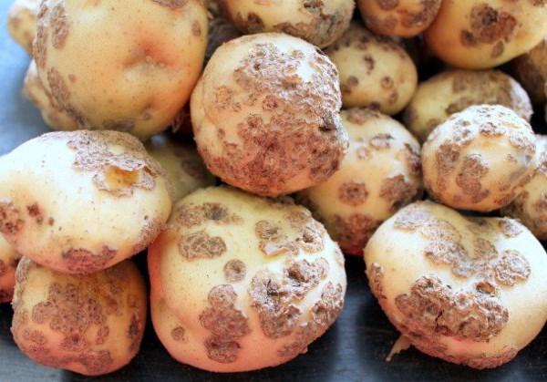 Признаки парши картофеля