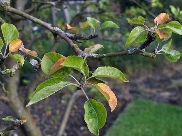 Опадают листья яблони летом