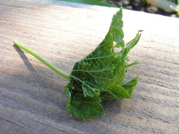 Скручиваются листья у смородины