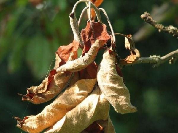 Почему сохнут листья у яблони