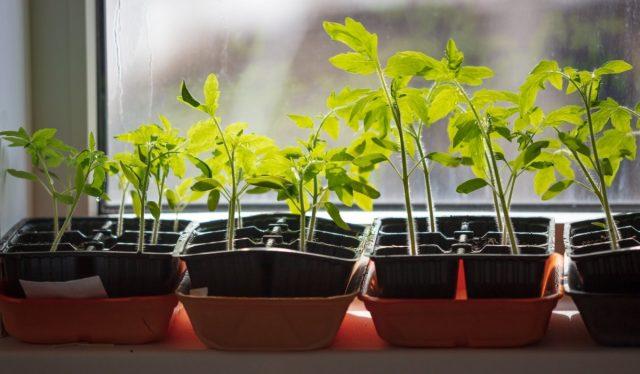 Как избежать вытягивания рассады томатов?